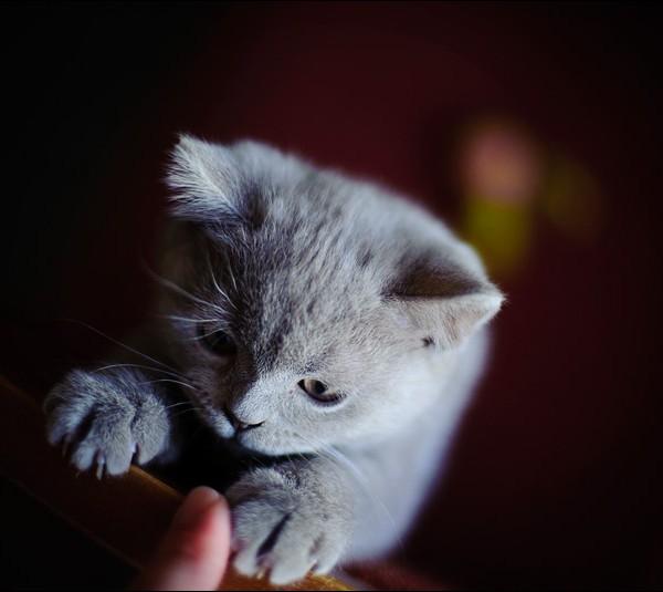 Британский кот Семен
